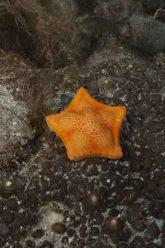 Una stella pentagono (1)