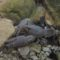Gambero di fiume Austropotamobius pallipes (4)