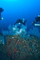 Rami di corallo nero alle fondamenta dello Scoglio La Botte ph Marco Sieni