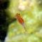 Il Chirocefalo del Marchesoni, vive nel Lago di Pilato (3)