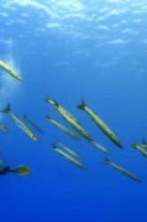 passaggio di barracuda