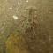 Gambero di fiume Austropotamobius pallipes (8)
